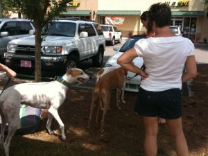 Adoptable Greyhounds meeting potential adoptive families. - submitted by Kristin Steele